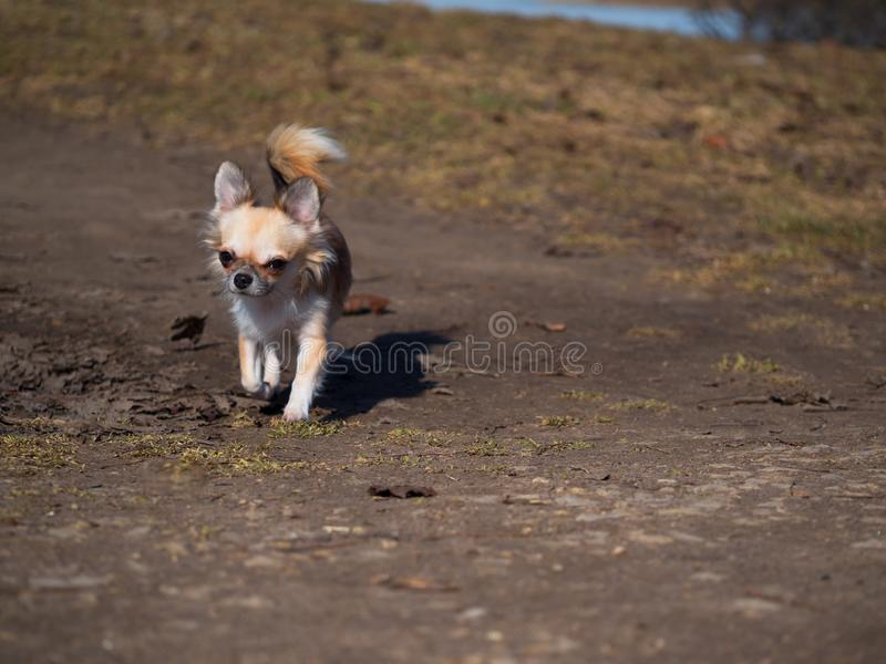 Fawn Chihuahua dog stock photo  Image of funny, front - 26069786