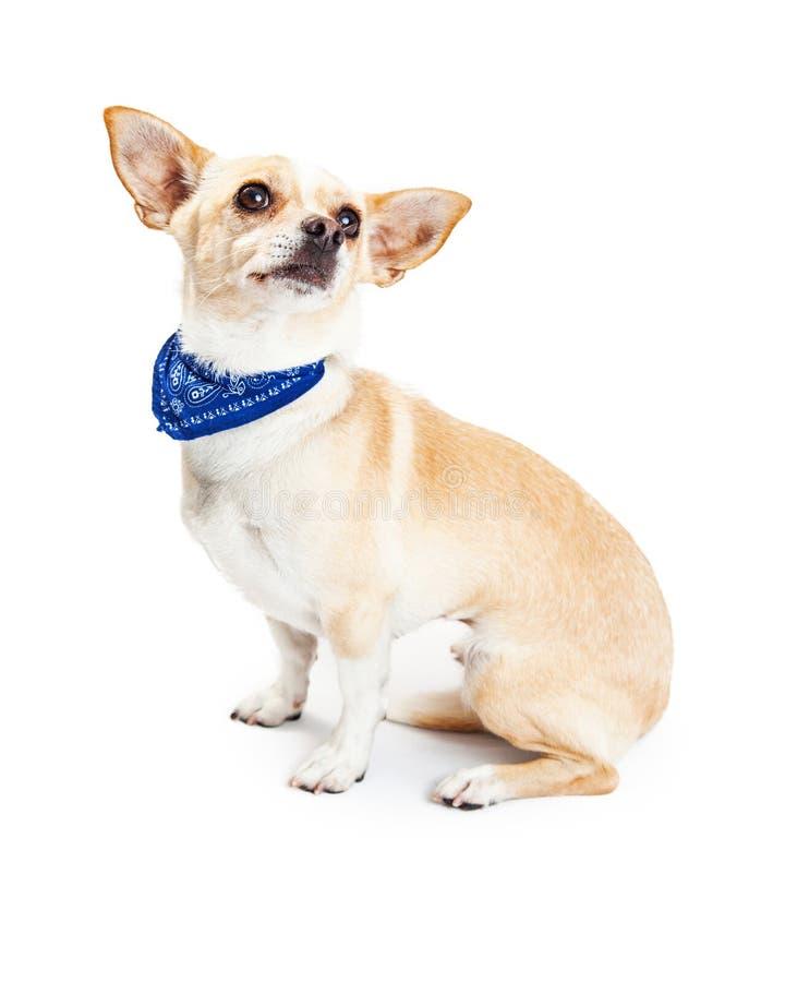 Chihuahua Dog Wearing Blue Bandana stock photos