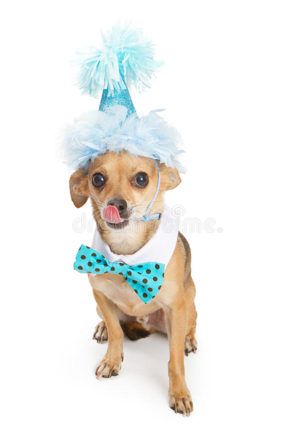 Chihuahua Dog Wearing Blue Birthday Hat. A cute little Chihuahua dog wearing a blue birthday party hat and a polka dot bow tie with his tongue sticking out stock photos