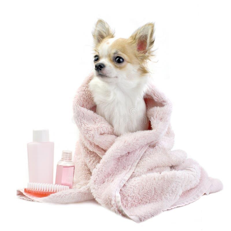 Chihuahua dolce con gli accessori della stazione termale isolati fotografia stock libera da diritti