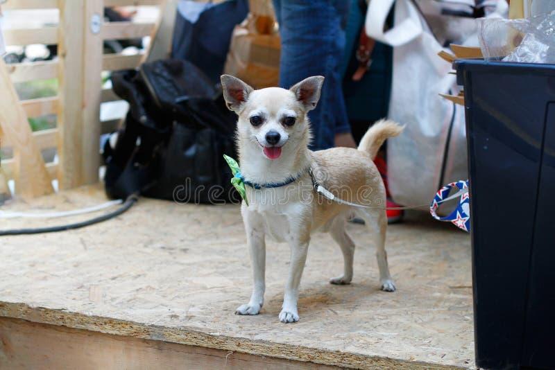 Chihuahua dourada amarrada em uma trela imagens de stock