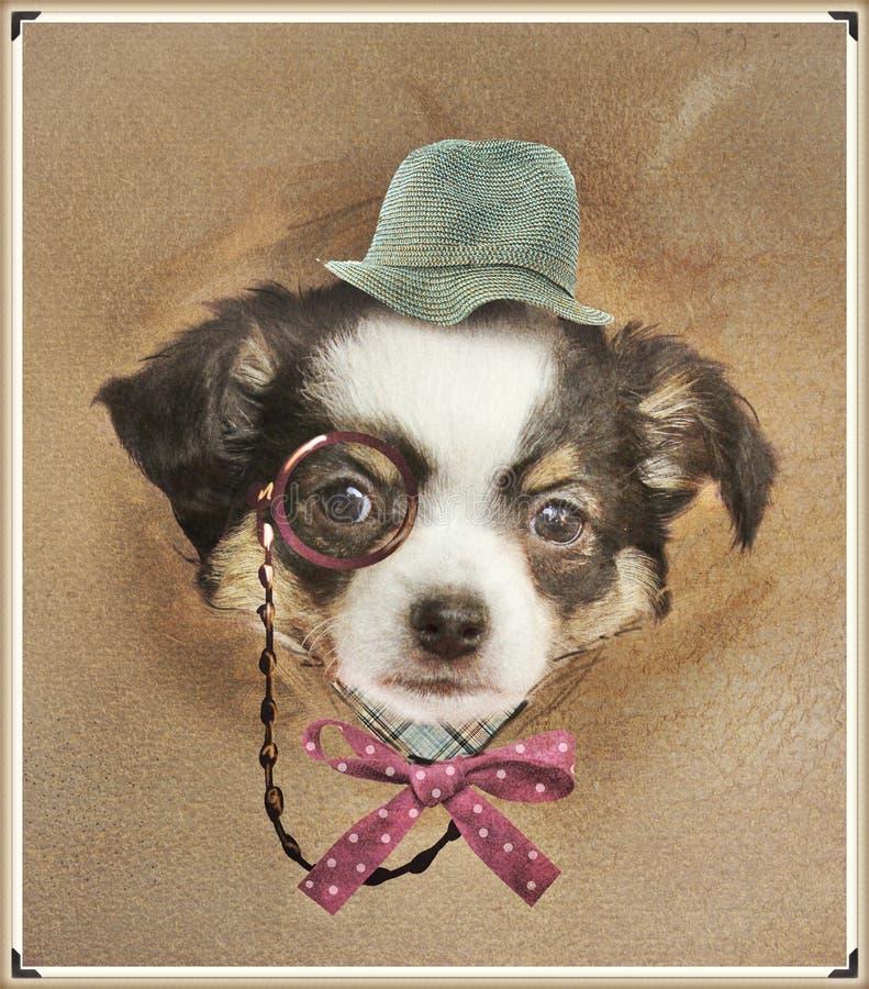 Download Chihuahua dresed divertida foto de archivo. Imagen de sombrero - 41918678