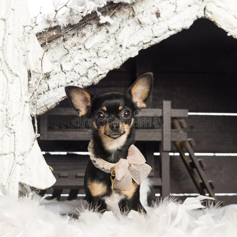 Download Chihuahua Dressed And Sitting Stock Photo - Image: 28582926
