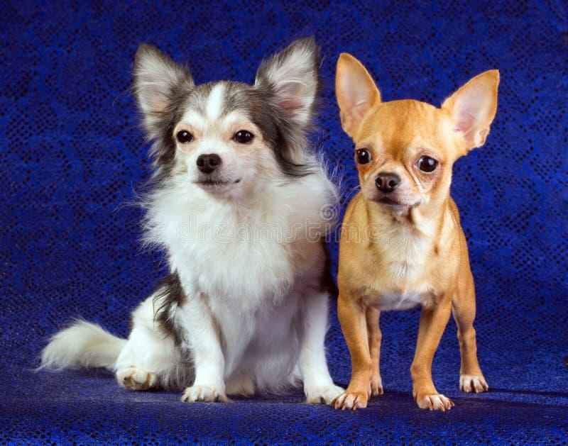 chihuahua dwa zdjęcia royalty free