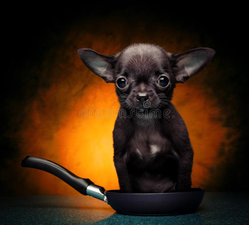 Chihuahua dziecka szczeniaka pies w pracownianej ilości zdjęcie stock