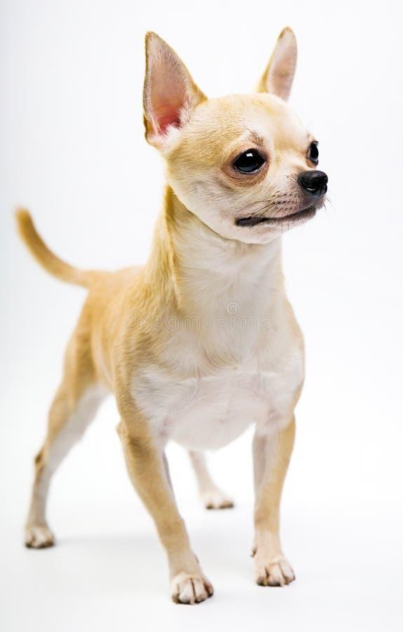 Chihuahua dziecka szczeniaka pies w pracownianej ilości zdjęcia stock