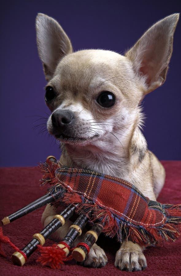 Chihuahua dziecka szczeniaka pies w pracownianej ilości fotografia stock