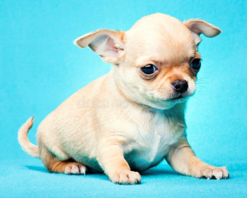 Chihuahua dziecka szczeniaka pies w pracownianej ilości zdjęcia royalty free