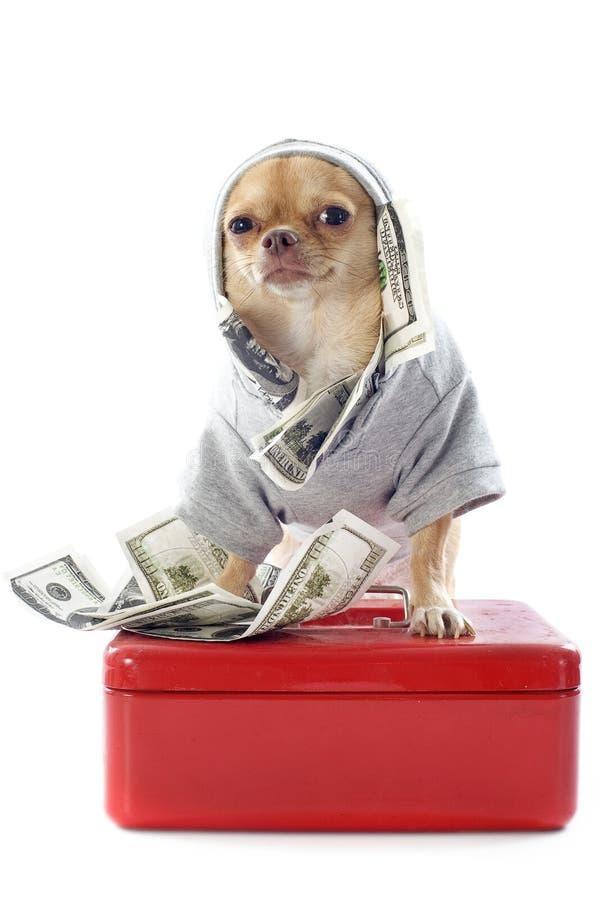 Chihuahua e dollari immagini stock