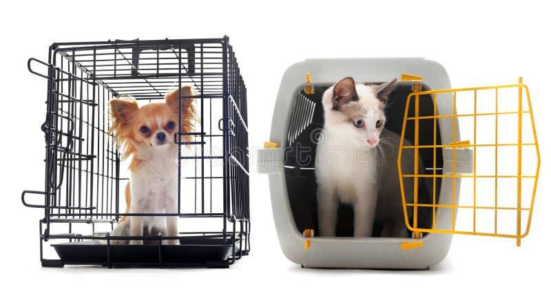 Chihuahua e gatto in fossa di scolo immagine stock libera da diritti