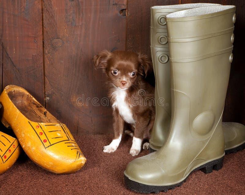 Chihuahua e pattini immagine stock libera da diritti