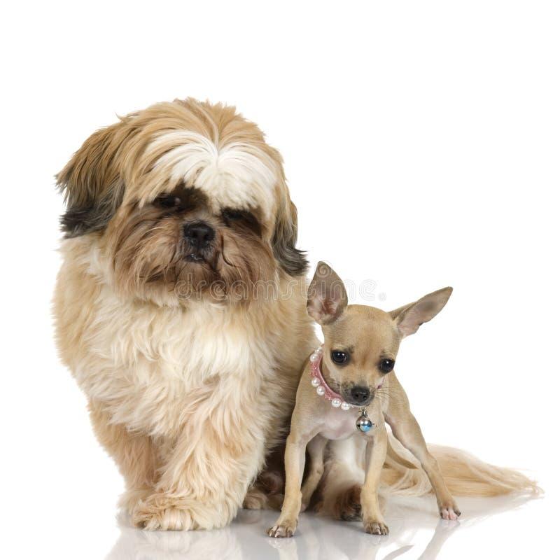 Chihuahua e Shih Tzu fotografia de stock royalty free