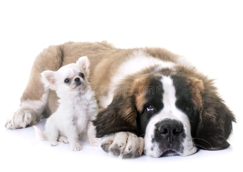 Chihuahua e St Bernard dei cuccioli fotografia stock