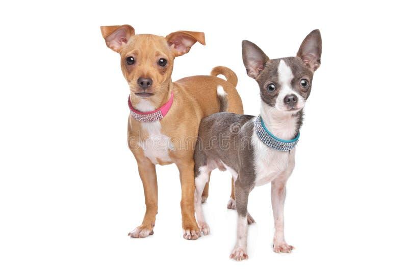 Chihuahua e um pincher da miniatura da mistura imagens de stock royalty free