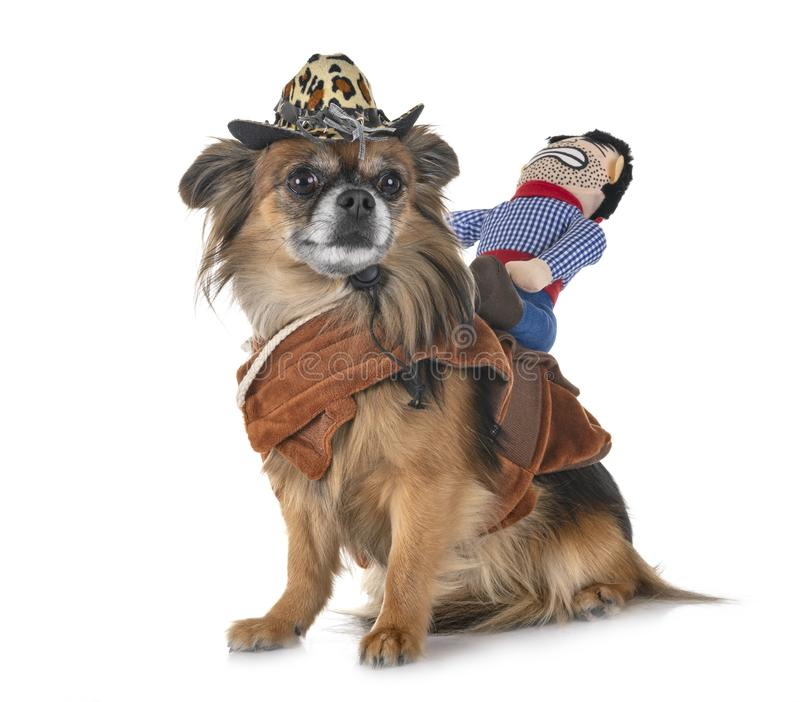 Chihuahua e vaqueiro fotografia de stock