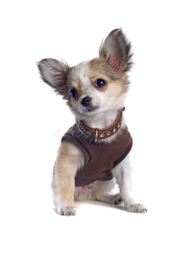 Chihuahua in einem Hemd lizenzfreies stockbild