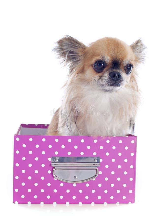 Chihuahua em um ofício foto de stock