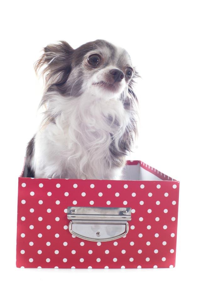 Chihuahua em um ofício fotos de stock