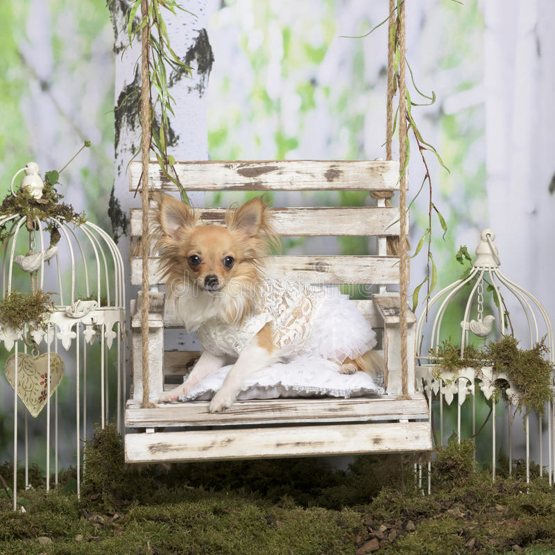 Chihuahua with embroided jacket. In pastoral decoration royalty free stock photo
