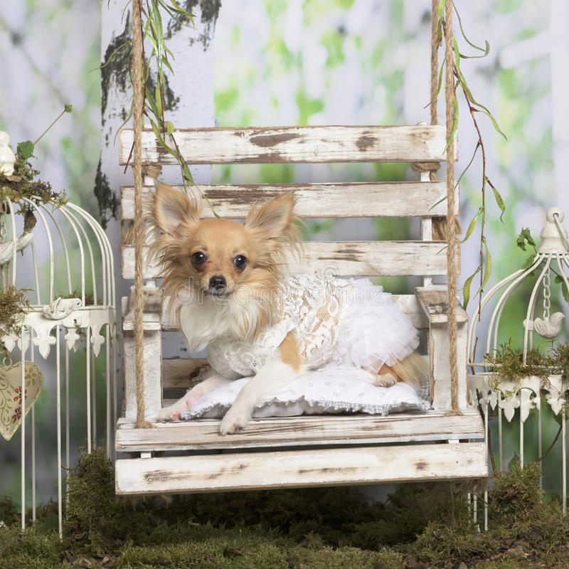 Chihuahua with embroided jacket. In pastoral decoration stock photos