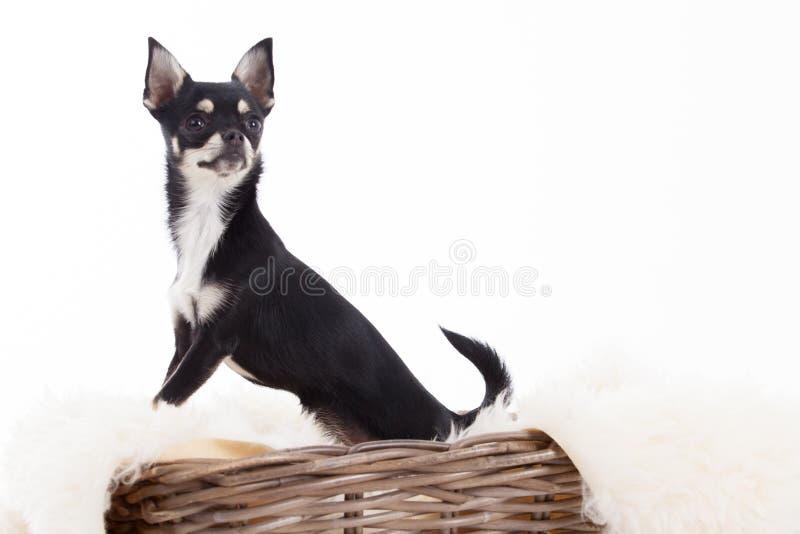 Chihuahua en cesta foto de archivo