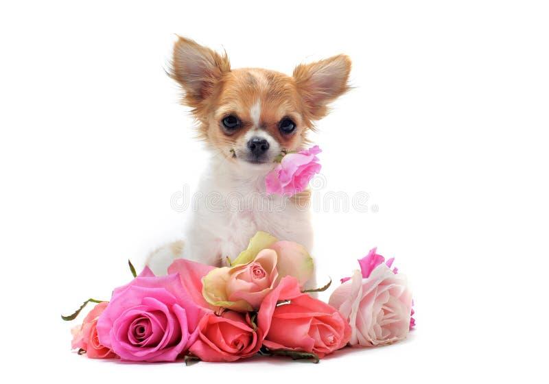 Chihuahua en de bloem van het puppy stock afbeelding