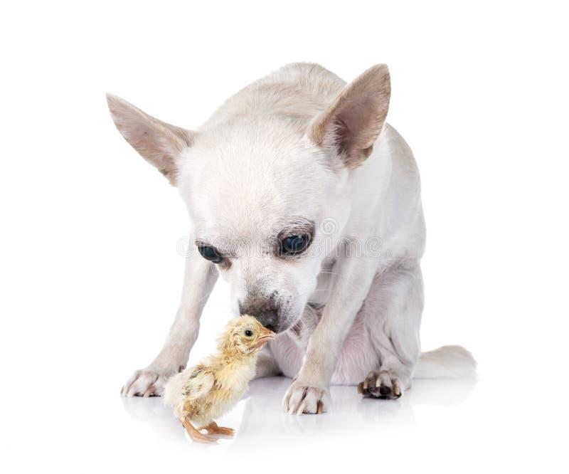 Chihuahua en kuiken stock foto