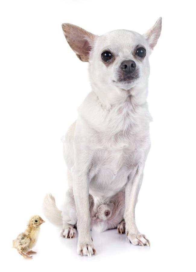 Chihuahua en kuiken royalty-vrije stock foto's