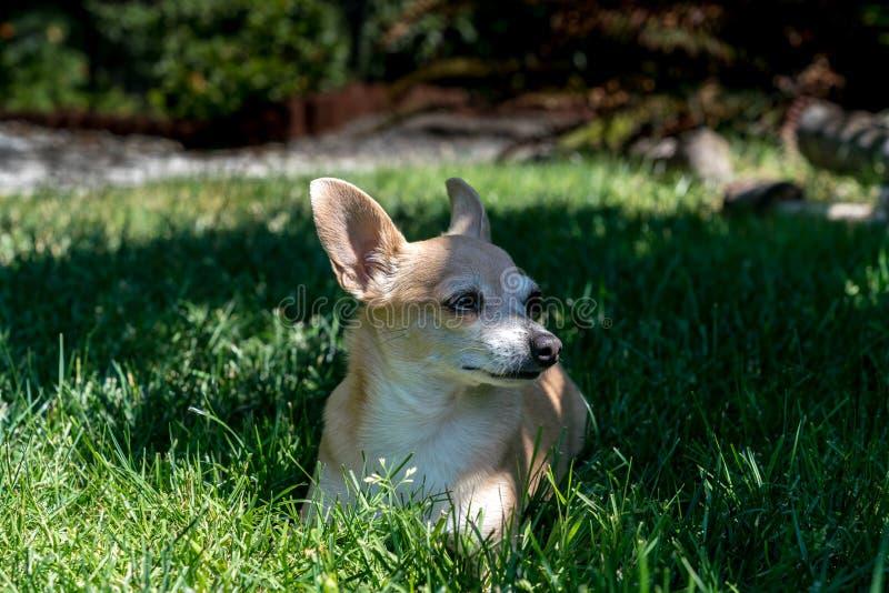 Chihuahua en la hierba imagen de archivo