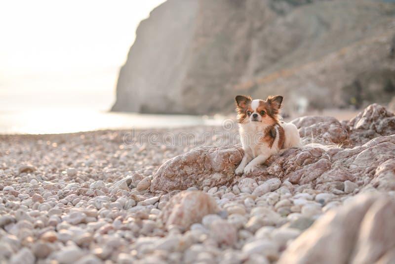 Chihuahua en la playa foto de archivo libre de regalías