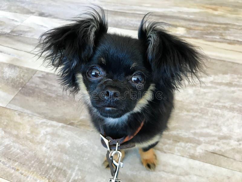 Chihuahua en Pekineesmengelingspuppy royalty-vrije stock afbeelding