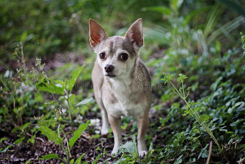 Chihuahua en un paseo imagen de archivo