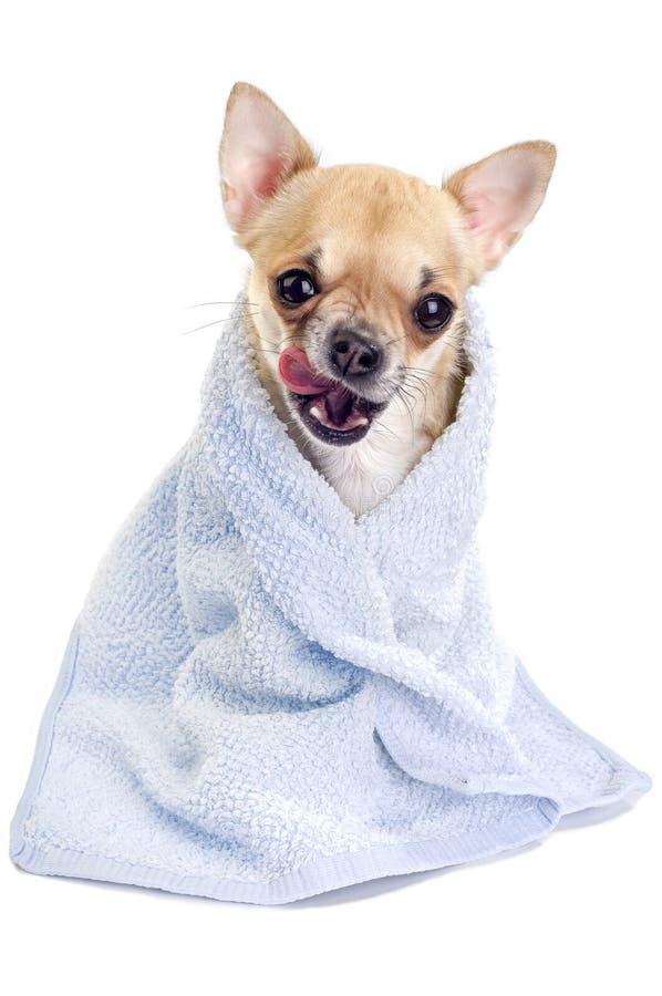 Chihuahua engraçada com uma toalha azul foto de stock royalty free