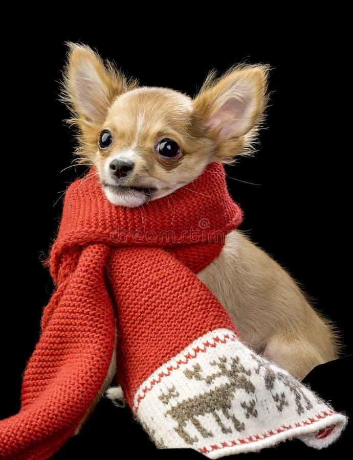 Chihuahua engraçada envolvida no lenço brilhante do inverno imagens de stock