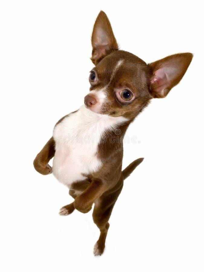 Chihuahua engraçada que está acima imagem de stock