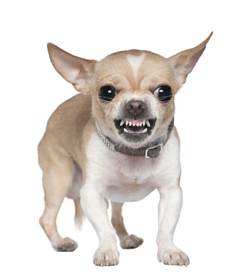 Chihuahua enojada que gruñe, 2 años imagen de archivo