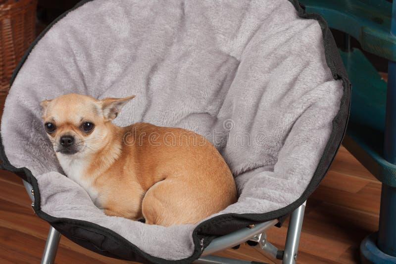 A chihuahua est? encontrando-se na cadeira do animal de estima??o na sala de visitas 2,5 anos de c?o f?mea da canela velha imagens de stock