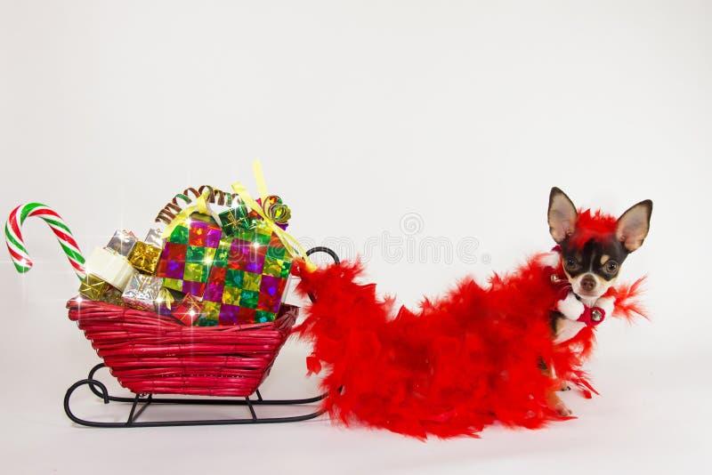 Chihuahua für Weihnachten. stockfotografie