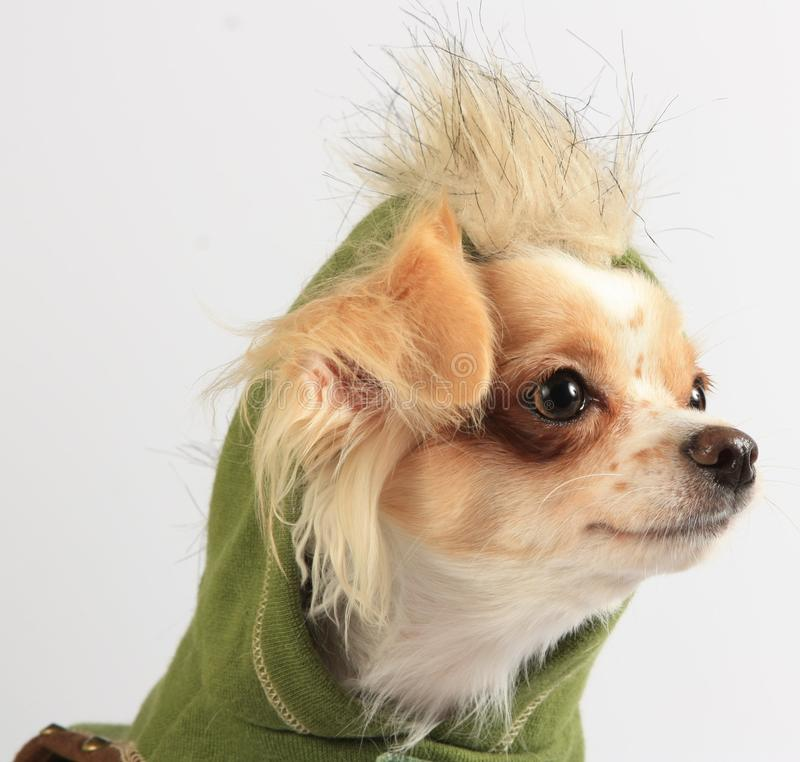 Chihuahua with a Faux-Hawk Hoodie stock photo
