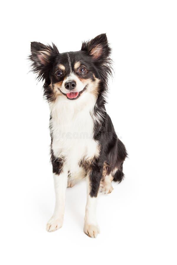Chihuahua feliz assento misturado do cão da raça foto de stock