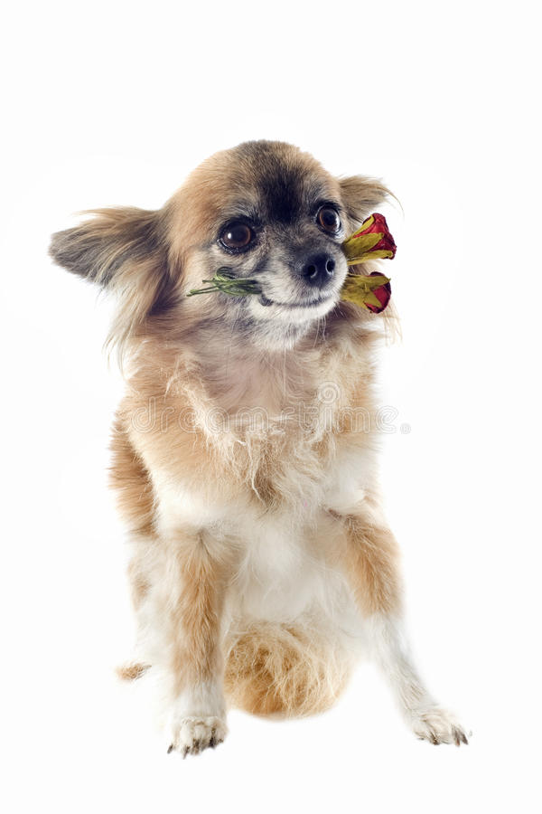 Download Chihuahua and flower stock image. Image of little, tiny - 26366947
