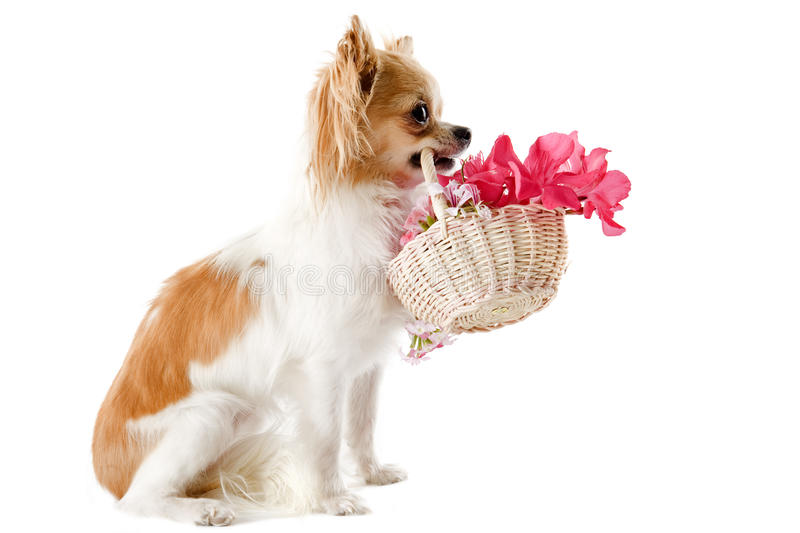 Download Chihuahua and flowers stock photo. Image of animal, cute - 25734542