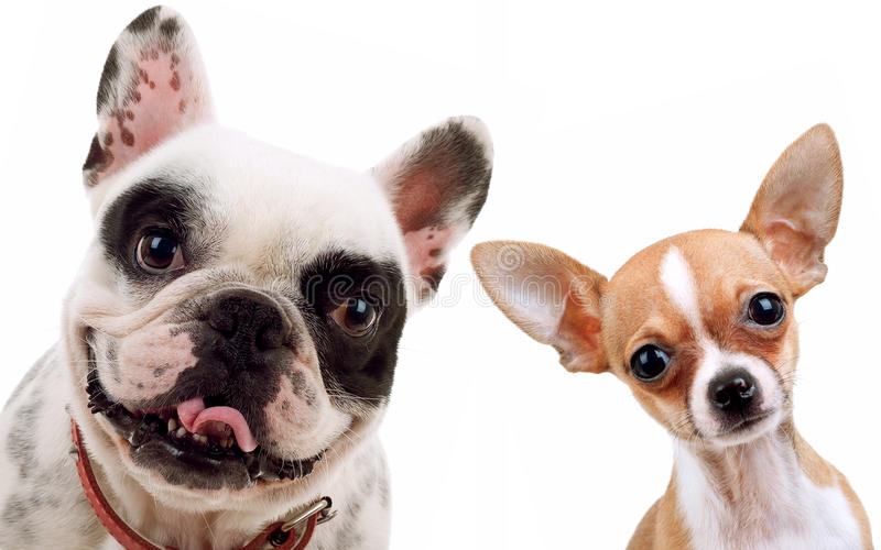Chihuahua and french bull dog. Picture of two little dogs - chihuahua and french bull dog looking at the camera stock images