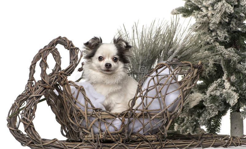 Chihuahua in front of a Christmas scenery. Isolated on white royalty free stock image