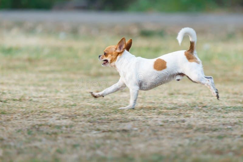 Chihuahua gelukkige looppas snel in openlucht op het gazon stock afbeeldingen