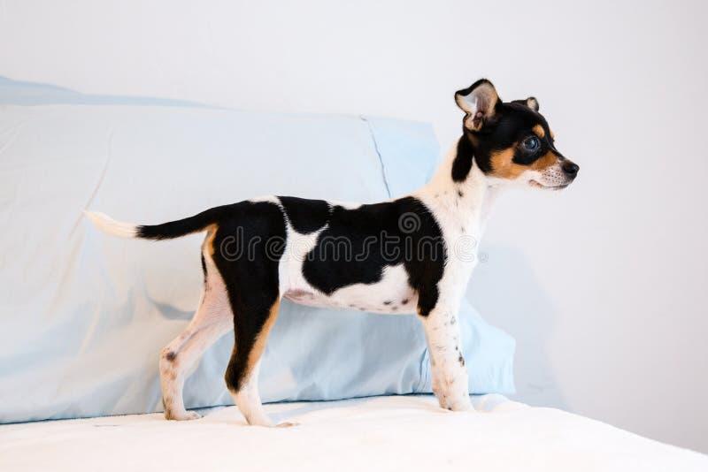 Chihuahua gemengd rassenpuppy van drie maanden oud royalty-vrije stock foto