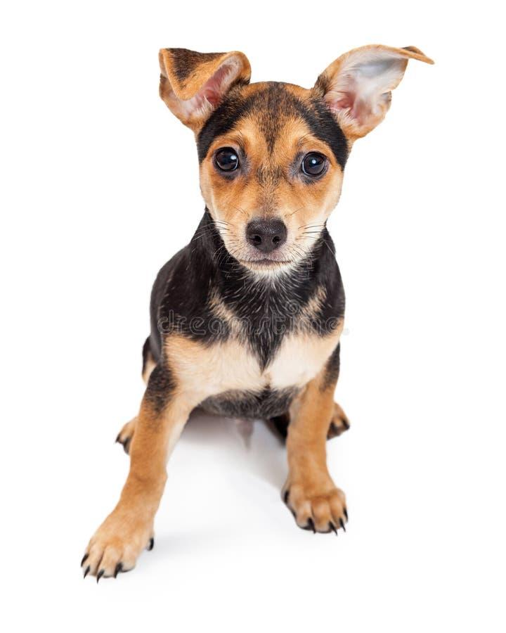 Chihuahua gemischtes Zucht-dreimonatiges altes Welpen-Sitzen lizenzfreie stockfotos
