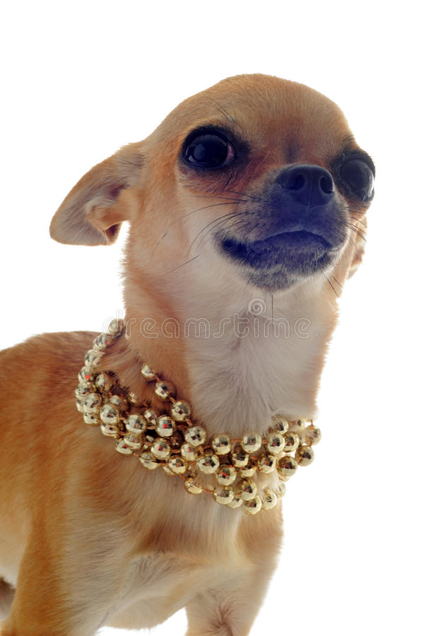 Chihuahua with gold collar