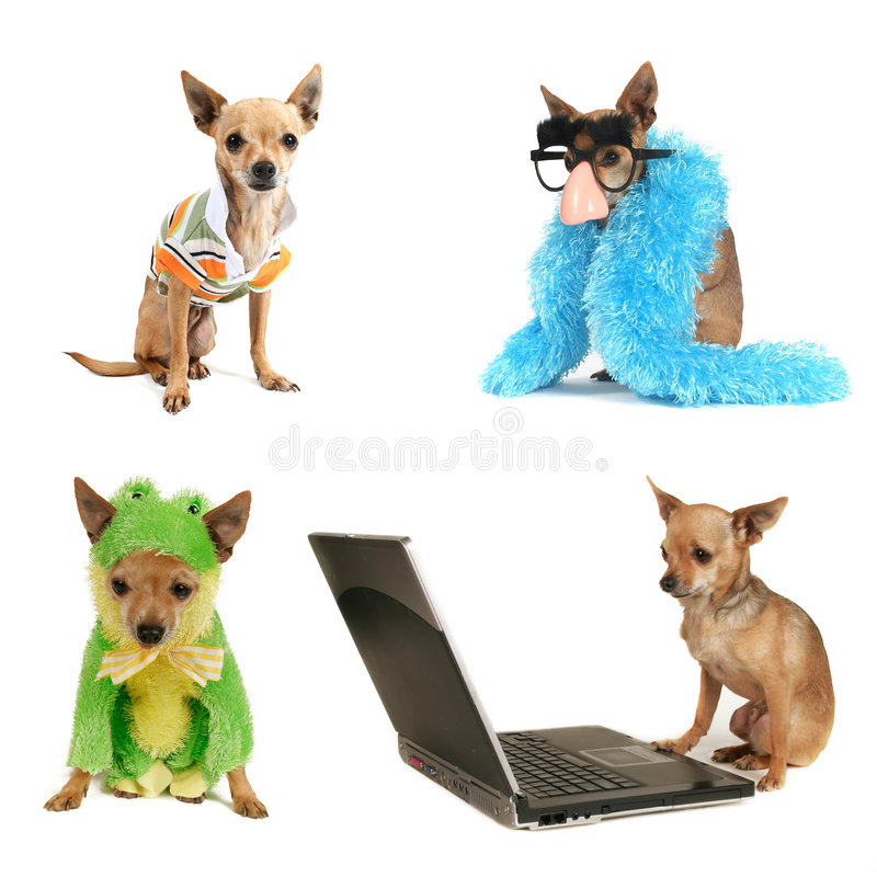 Chihuahua group stock photos