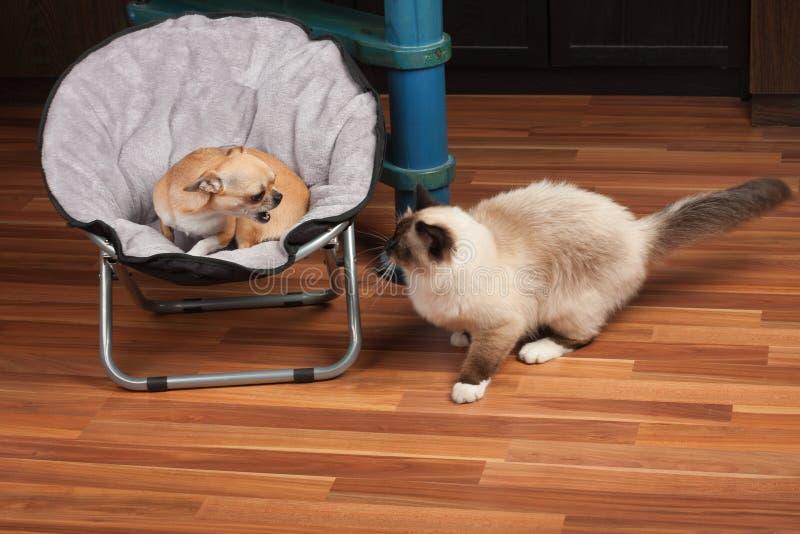 Chihuahua haben vor einer Katze und Knurren an der Katze vom Haustierbett Angst lizenzfreie stockfotografie